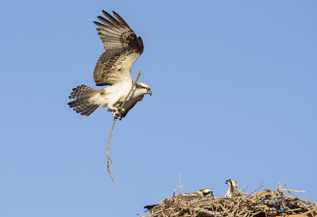 Mom with nesting material
