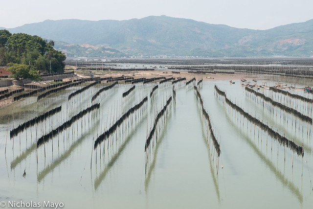Kelp Drying On Bamboo Poles