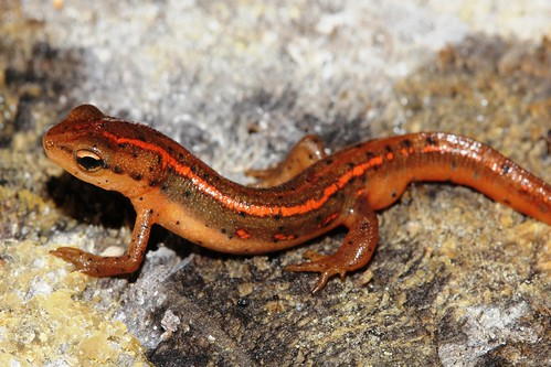 Striped newt at Big Bend WMA | by FWC Research