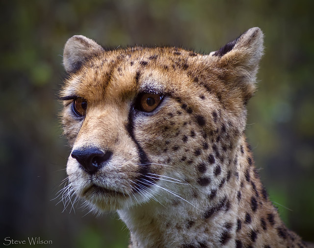 NorthWest African Cheetah