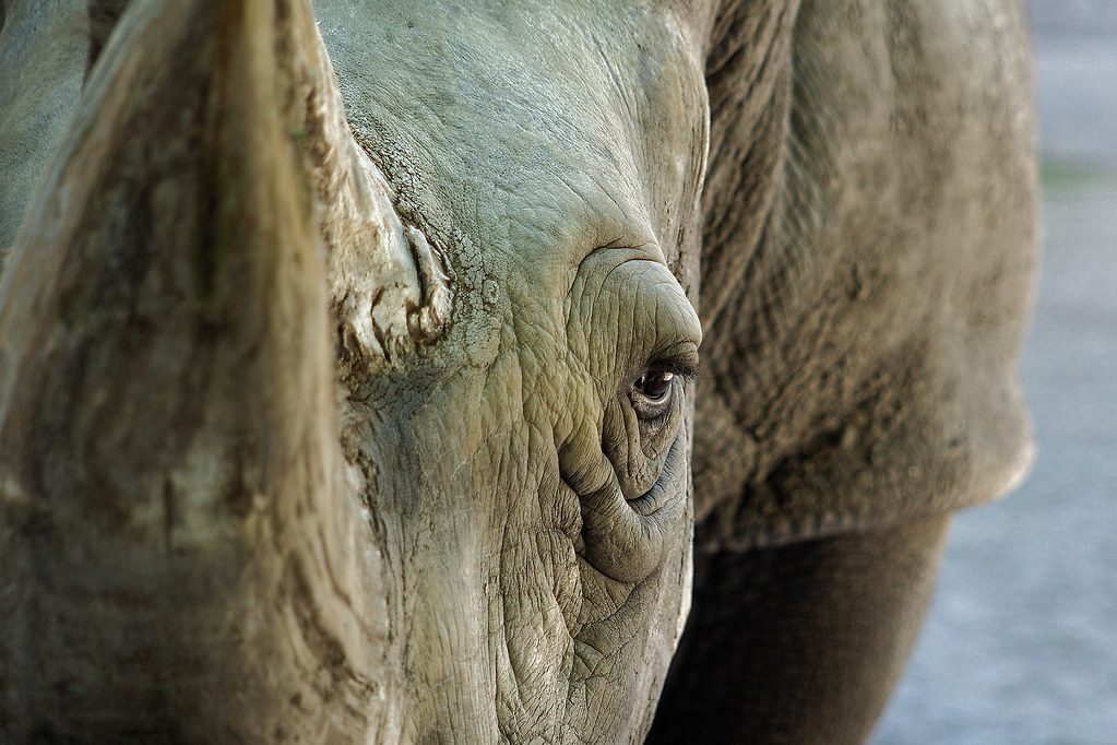 White rhino while closing up to his spectators