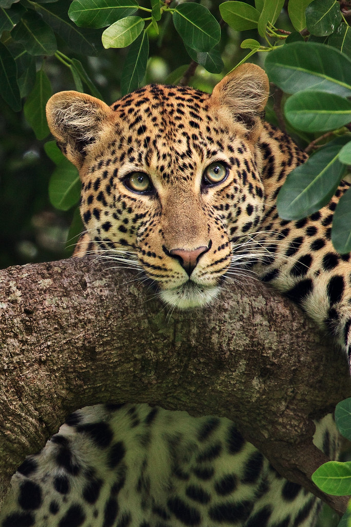Image: Leopard in a Tree