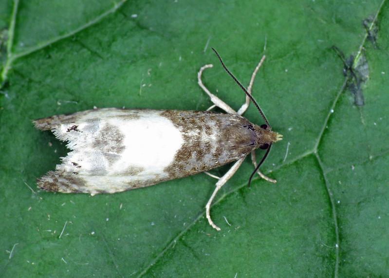 1174 Epiblema cynosbatella
