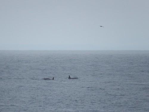 IJsland - Snaefellsnes - Ondverdarnes - orkas - 1