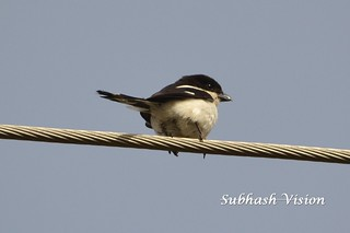 Tropical boubou or bell shrike (Laniarius aethiopicus) | by SUBHASH VISION