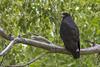 Common Black-hawk by Stephen J Pollard (Loud Music Lover of Nature)