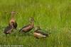 Whistling Ducks by ArunaSene