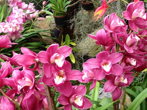 pink orchid orchidfarm