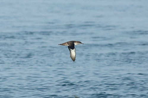 Puffinus mauretanicus - Balearic Shearwater | by Roger Wasley