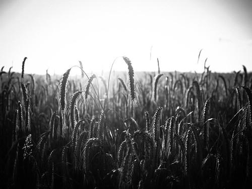 blackandwhite bw film 35mm corn cornfield olympus korn omd kornfeld em1 17mm