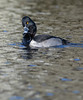 Ring-necked Duck by Wes Aslin
