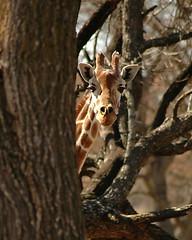 Shy Giraffe Behind Tree | by DanielJames