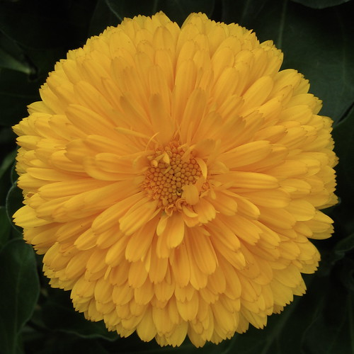Marigold | by psd