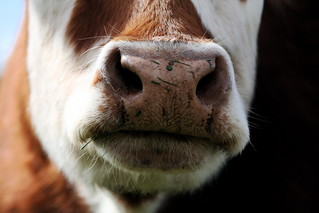 close up of a cow | by jodi_tripp
