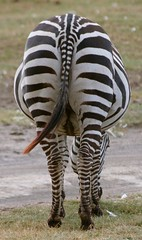 Zebra--The Far Side. | by Picture Taker 2