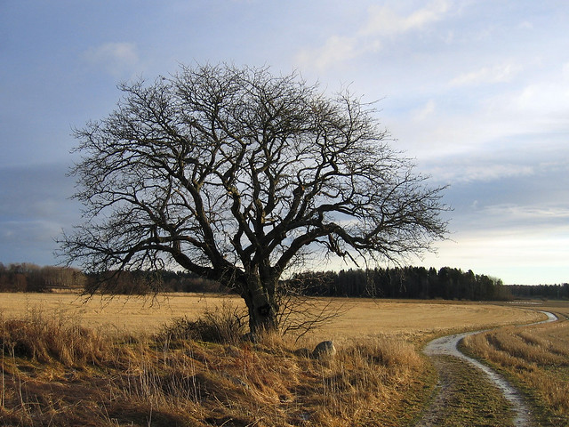 That old tree (Dec 25, 2005)