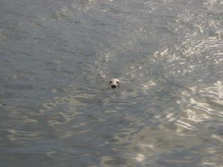 Grey Seal in harbour | by Ostaleri