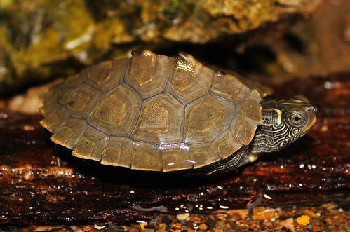 False Map Turtle (Graptemys pseudogeographica) | by 2ndPeter