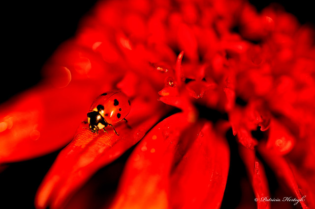 Red Ladybug On A Red Flower - Explored (07/14/15)
