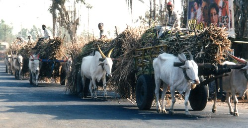 Sugar cane ox carts | by Leanna Cinquanta
