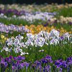 Iris park