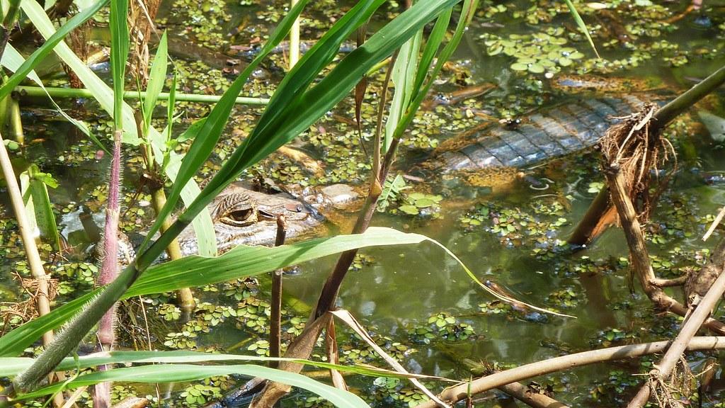 Krokodilkaiman (Caiman crocodylus), NGIDn1139729241