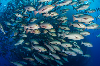 Shoal of snapper in action | by laleena1