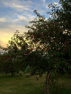 Cherry Tree Sunset