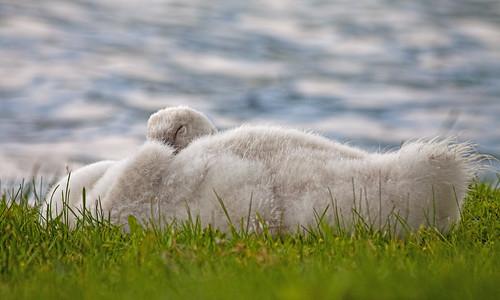 summer white lake water swan michigan cygnet muteswan whitmorelake