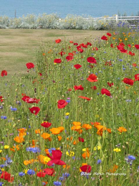 018 Cromer wild flowers