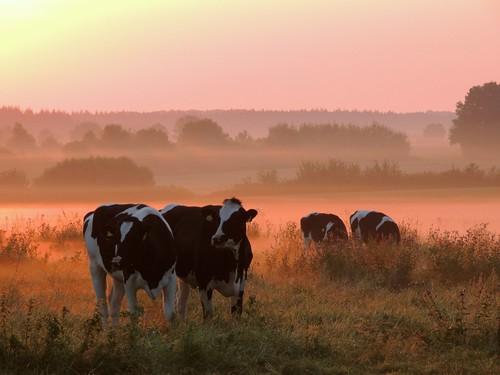 morning mist fog sunrise day kühe morgennebel