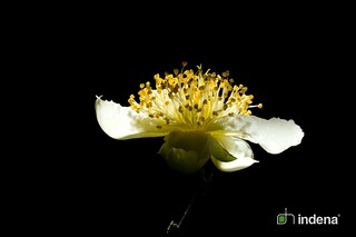 Camellia sinensis L. | by Indena SpA