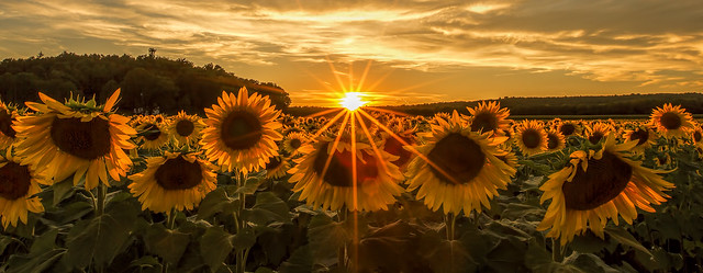 Sweet Sunflower Sunset