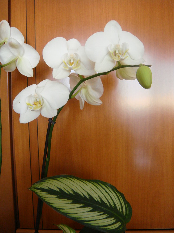 Flowers - Orchid - Orchidea by Gianni Del Bufalo CC BY 4.0