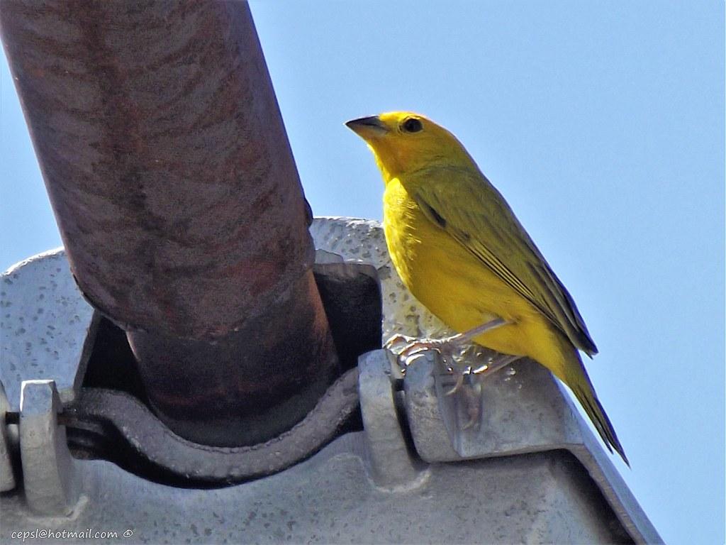 Imagen de una de las aves del Quindio: Sicalis coronado (Sicalis flaveola)