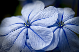 Flower 14 .. A Blue Day