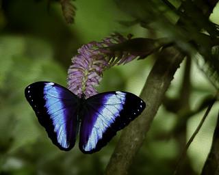 Blue Morph | by Steve Corey