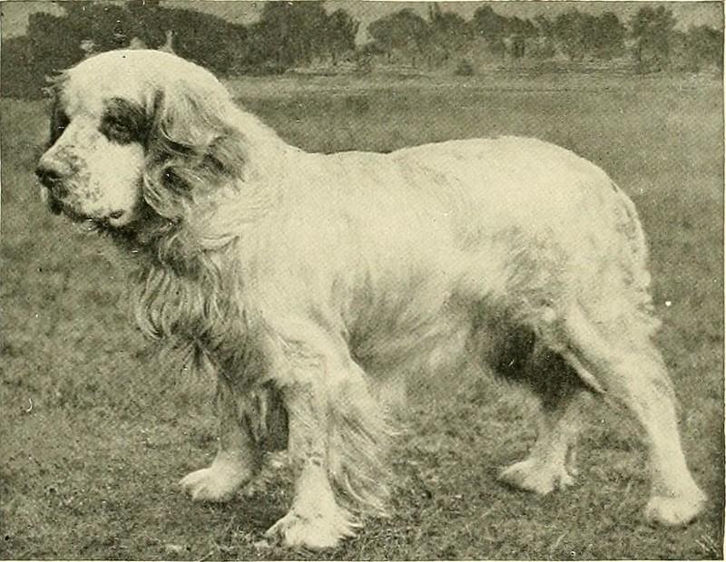 Clumberspaniël - Dog Scanner