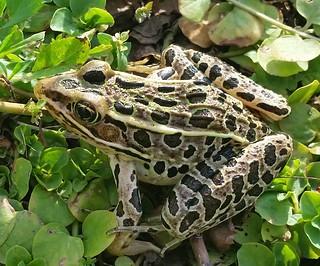 Leopard frog (Rana pipiens), Wetlands Preserve Park, Freeport, IL | by benet2006