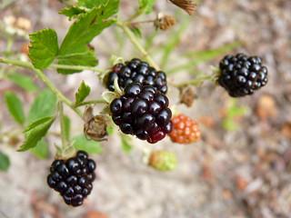 Pennsylvania Blackberry | by Dendroica cerulea