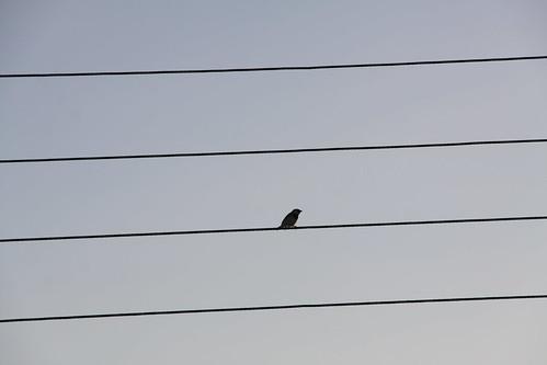 Pentagramma Ornitologico