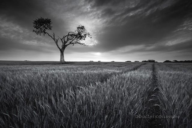 Bangor Tree