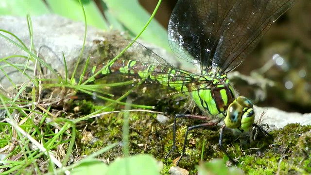 Southern Hawker Dragonfly - movie clip