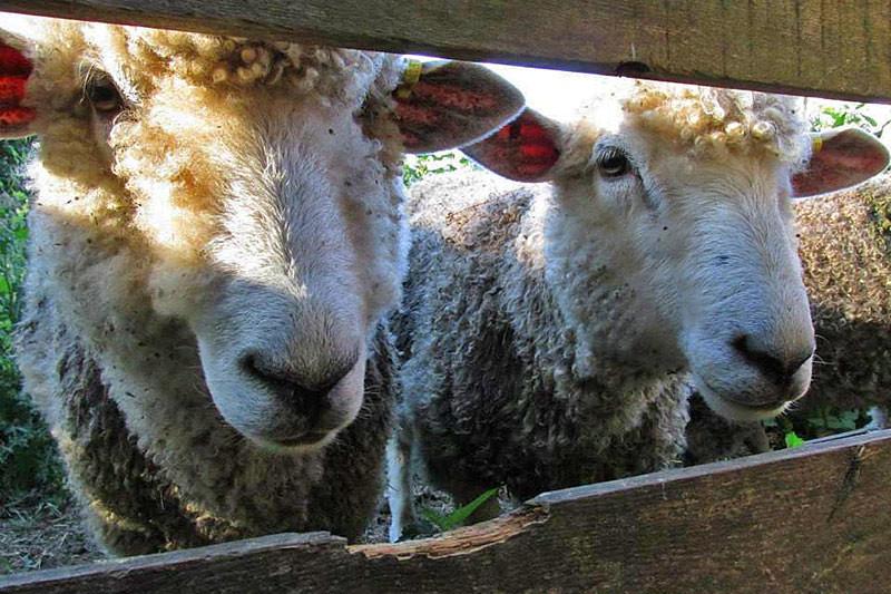 Cotswold Sheep at Hope Hill Farm, Saltspring Island, Gulf Islands, British Columbia
