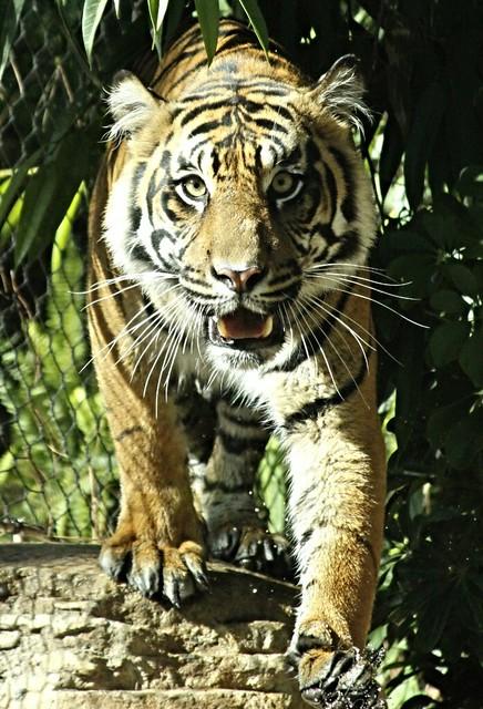 Sumatran Tiger - Joanne