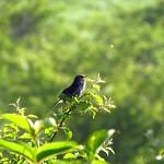 うぐいす・八島湿原にて_20140712_1