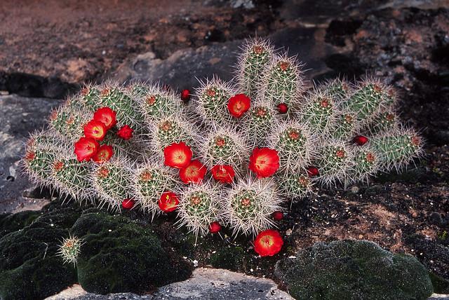 Claret Cup Cacti