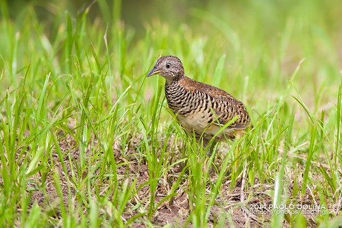 Barred buttonquail (Turnix suscitator) | by Paolo Dolina