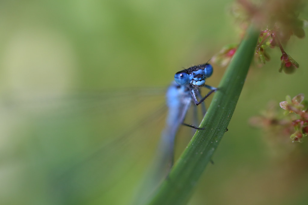 22 - Jun - 2014 - Common Blue Damselfly