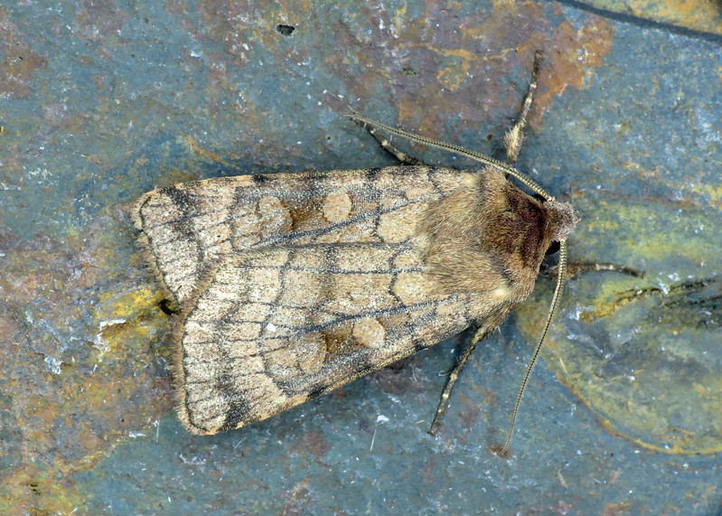 2133 Six-striped Rustic - Xestia sexstrigata
